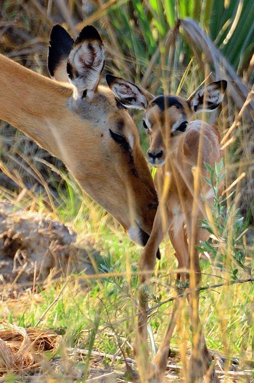 AFR_6257 Impala