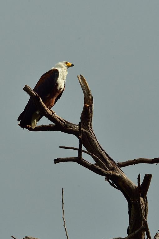 AFR_6564 African Fish Eagle