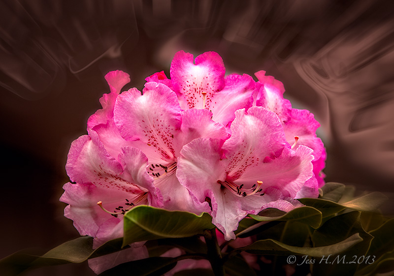 Lems Monarch Rhododendron