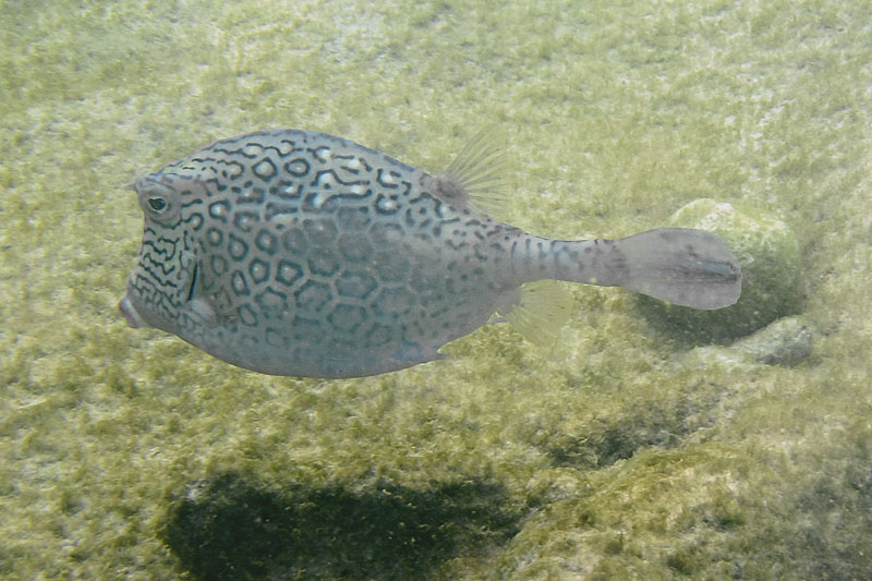 HoneycombCowfish1415.Vividw.jpg