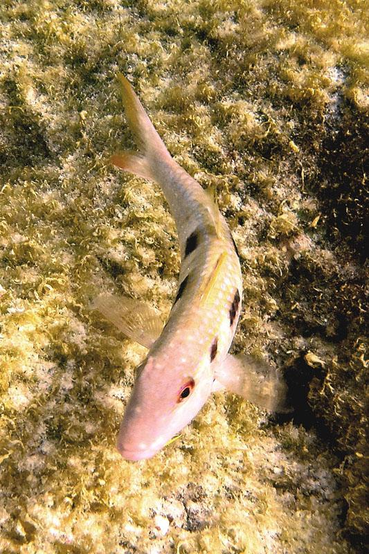 SpottedGoatfish1417.Vividw.jpg
