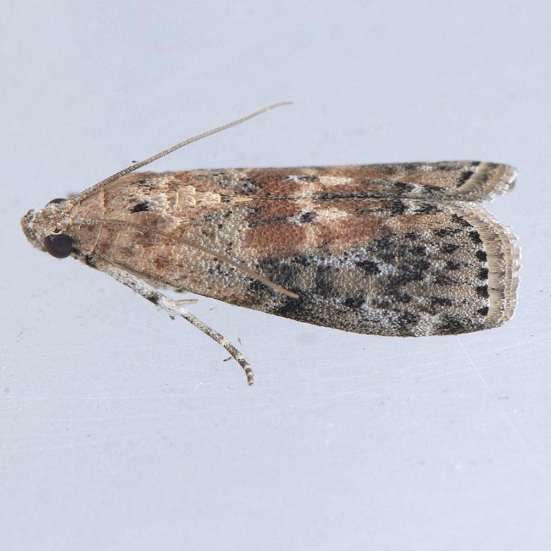 5797  Black-spotted Leafroller - Sciota virgatella
