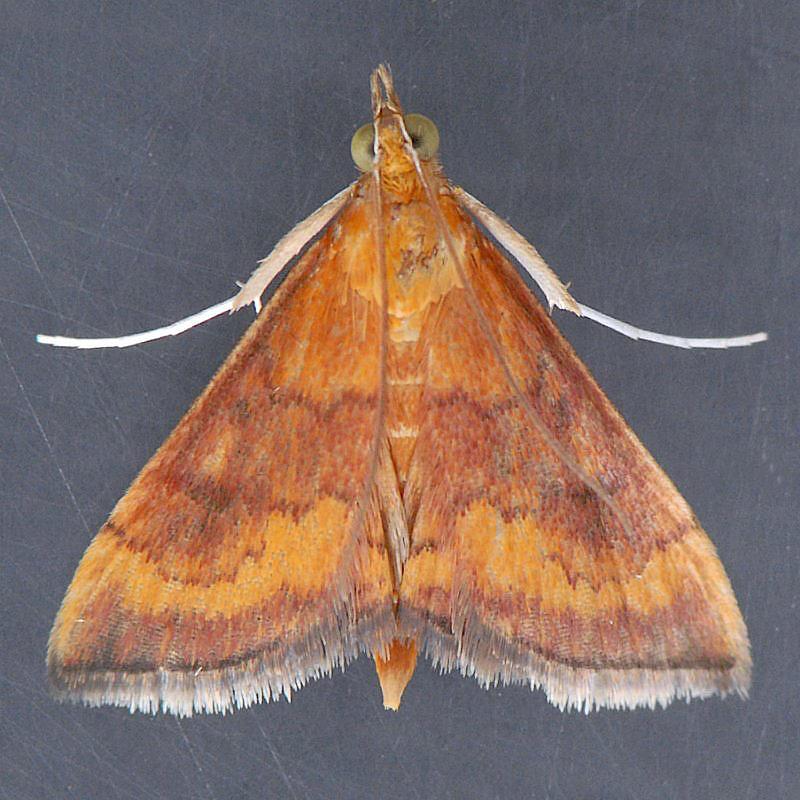 5051 Variable Reddish Pyrausta - Pyrausta rubricalis