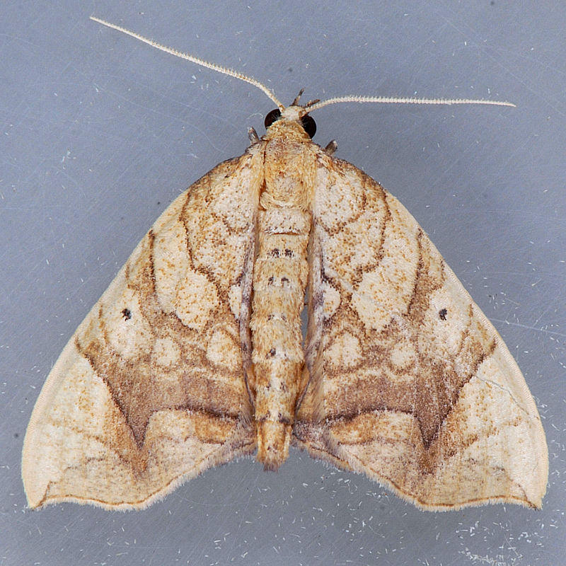 7197 Greater Grapevine Looper - Eulithis gracilineata
