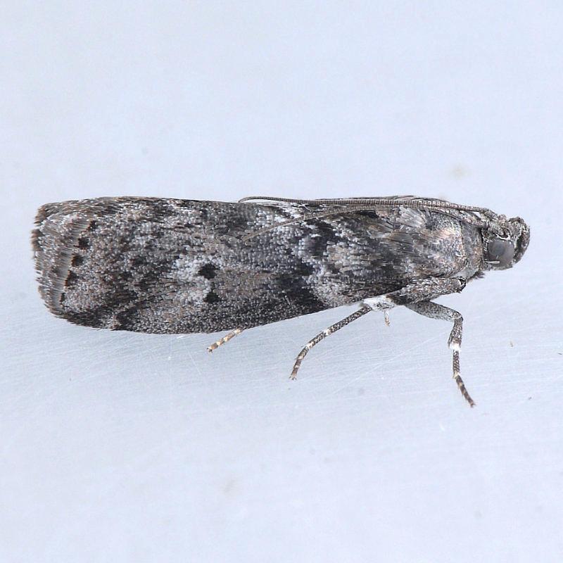 5771  Salebriaria turpidella
