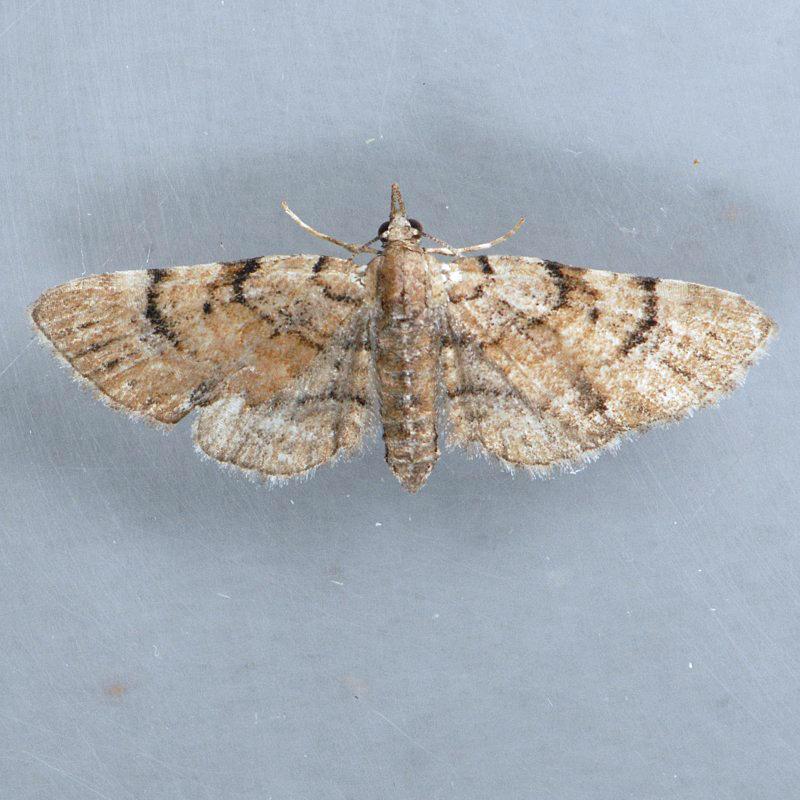 7449 Eupithecia palpata