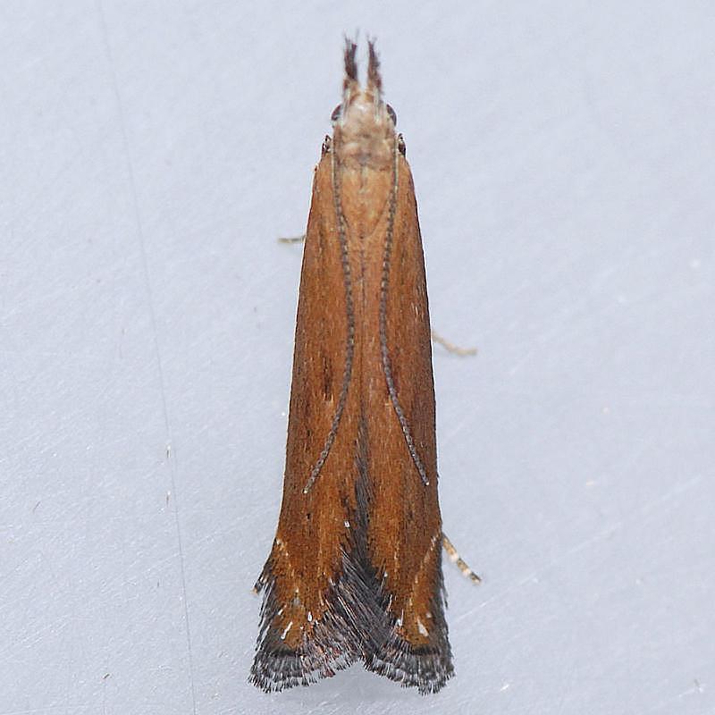 1694 Isophrictis magnella