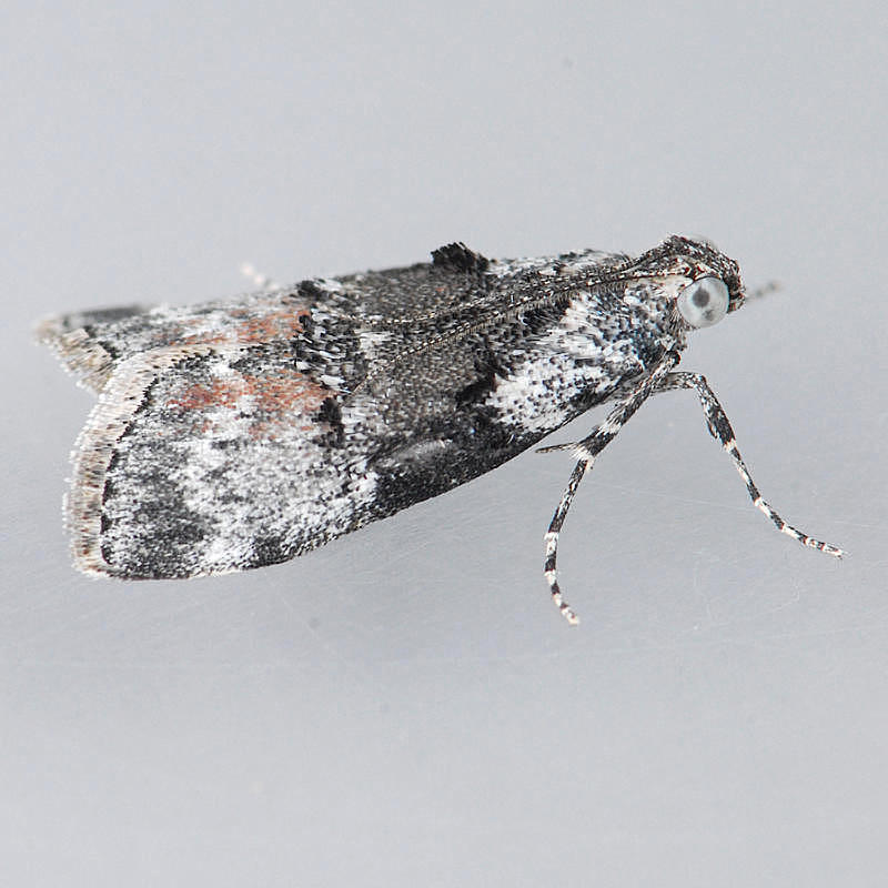 Pococera