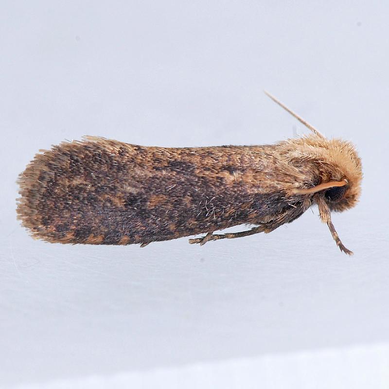374 Acrolophus propinqua