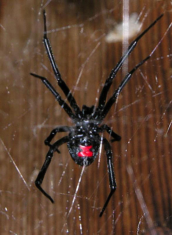 Southern Black Widow Spider female  - Venomous!