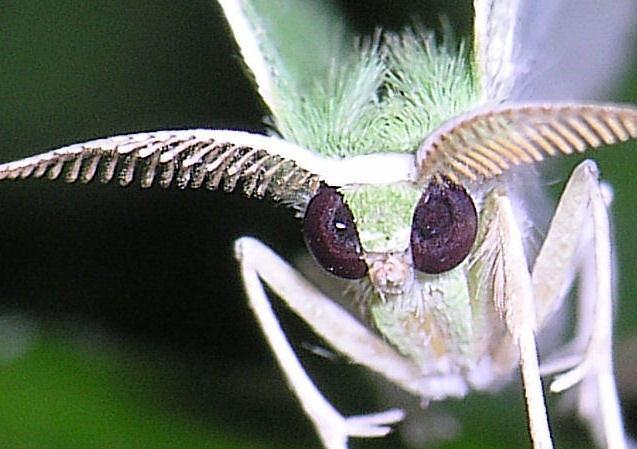An Emerald species
