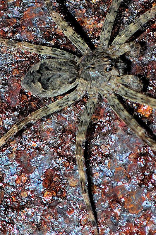 Dark Fishing Spider - Dolomedes tenebrosus