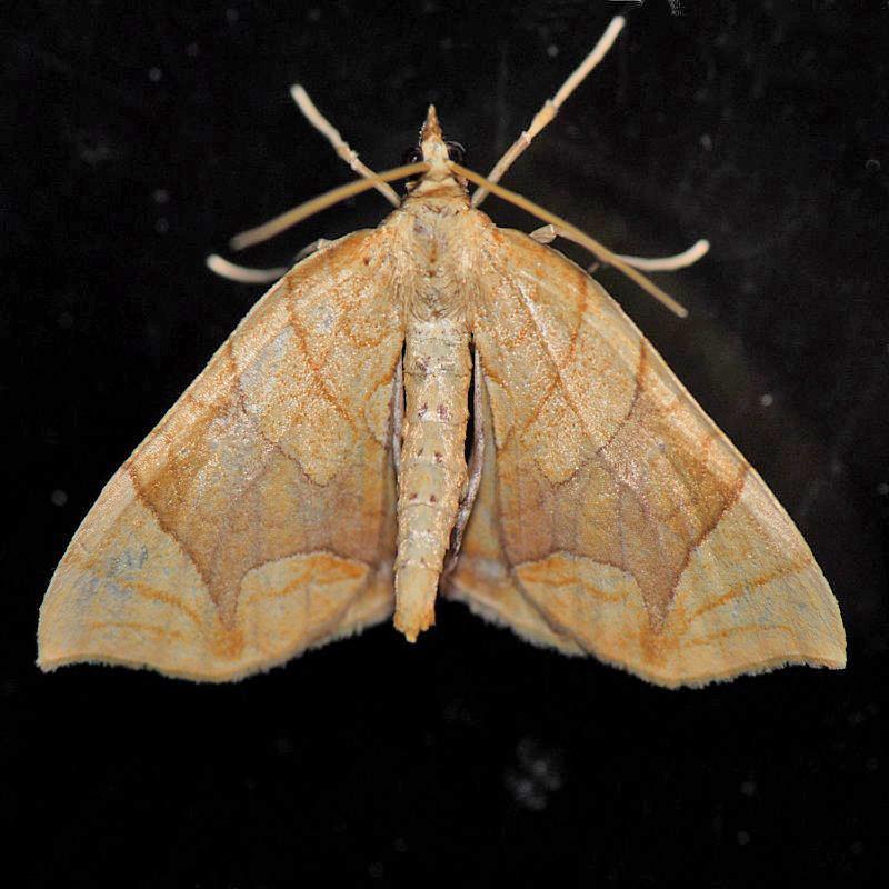 7196  Lesser Grapevine Looper - Eulithis diversilineata
