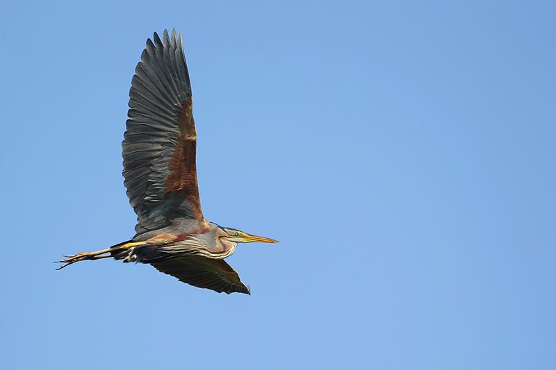 Purple heron (Purperreiger)