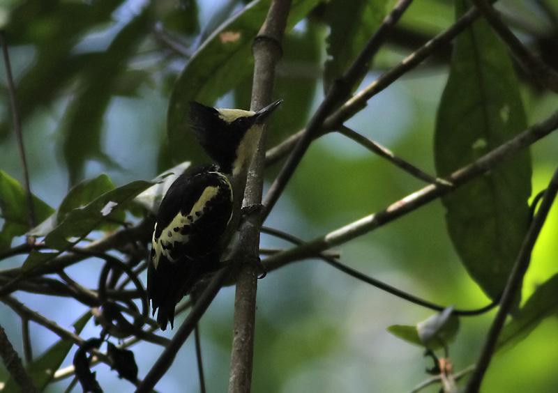 Heart-spotted Woodpecker, fem