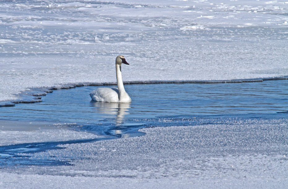 Swan on the Ice