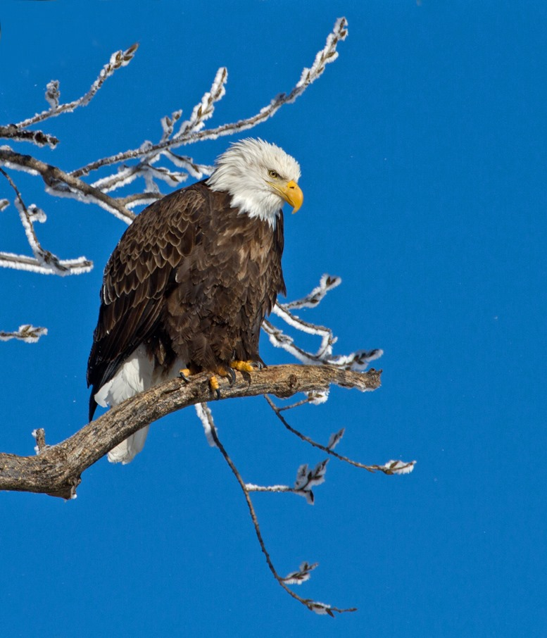 Eagle by the Mississippi