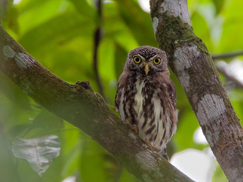 ferruginous pygmy owl<br><i>(Glaucidum brasilianum, NL: braziliaanse dwerguil)</i>