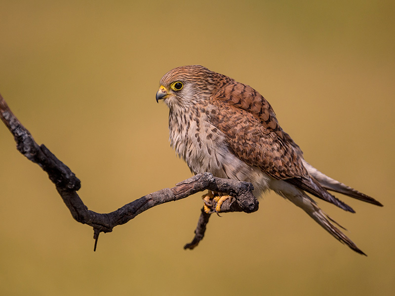 lesser kestrel<i> (Falco naumanni)</i>