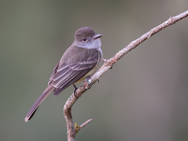 short-crested flycatcher<br><i> (Myiarchus ferox)</i>