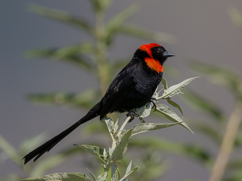 red-collared widowbird<br><i>(Euplectes ardens)