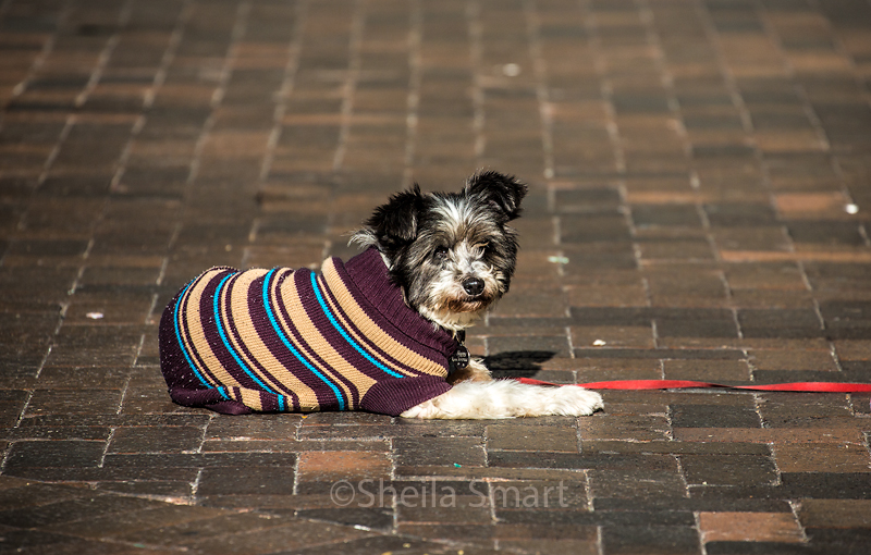 Buskers dog
