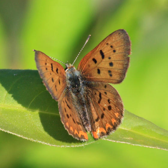Purplish Copper (Lycaena helloides