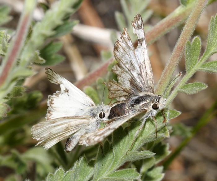 mating Northern White-Skipper - Heliopetes ericetorum