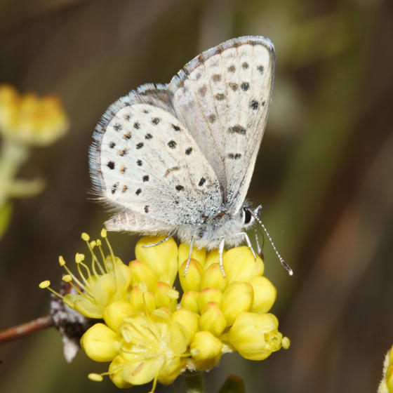 Comstock Dotted Blue - Euphilotes glaucon comstocki