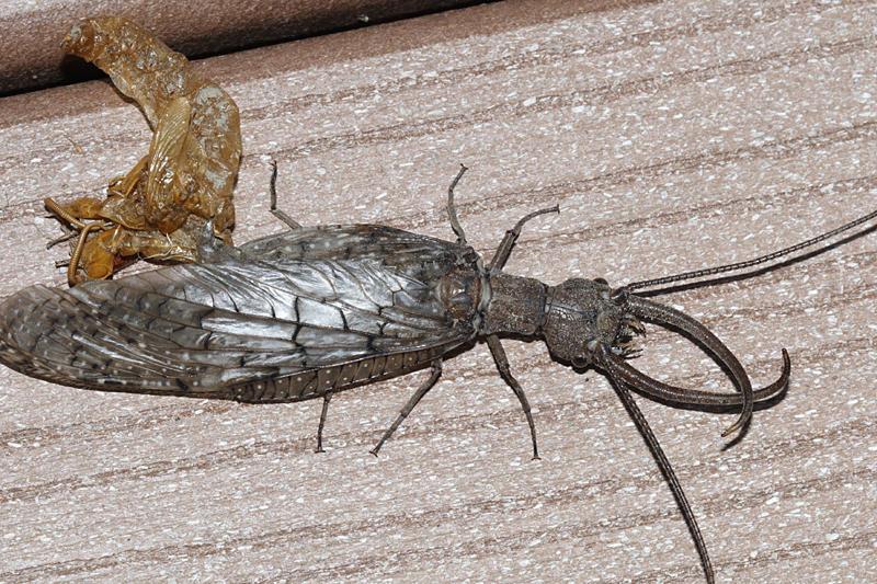 Eastern Dobsonfly - Corydalus cornutus (male)