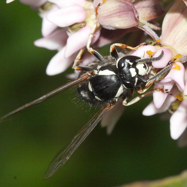 Vespula consobrina (Blackjacket)