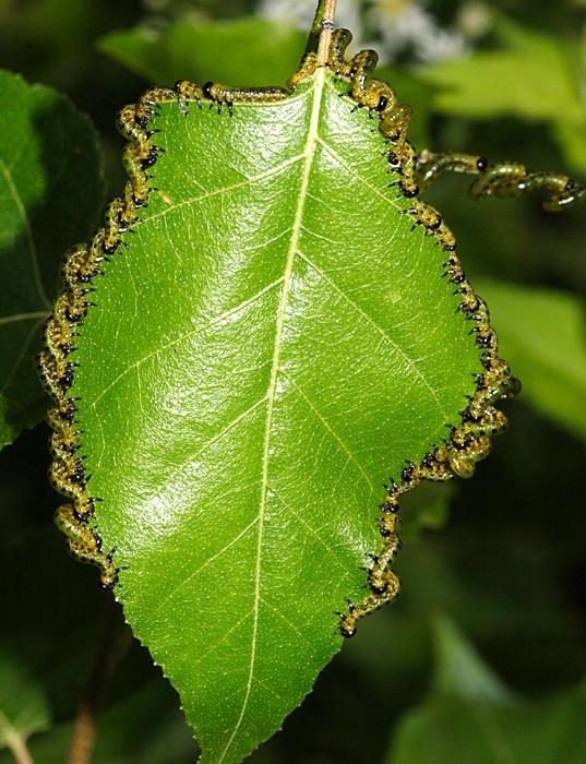 Dusky Birch Sawfly - Craesus latitarsus