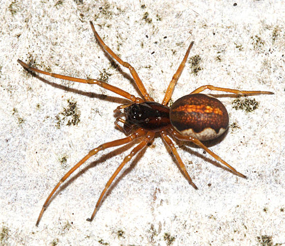Thick-jawed Orb Weaver - Pachygnatha autumnalis (female)