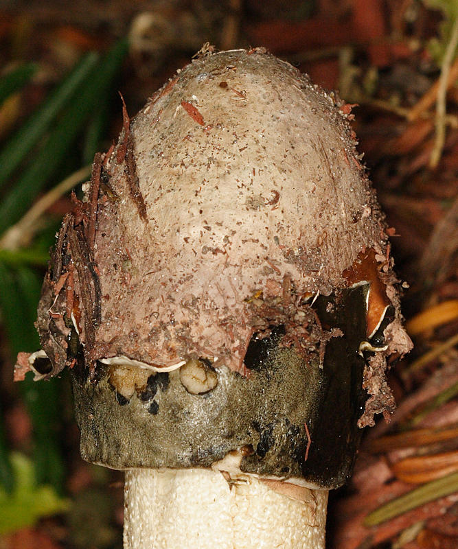 Phallus ravenellii
