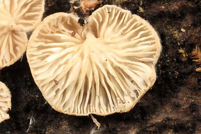 Cheimonophyllum candidissimus (White Oysterette)