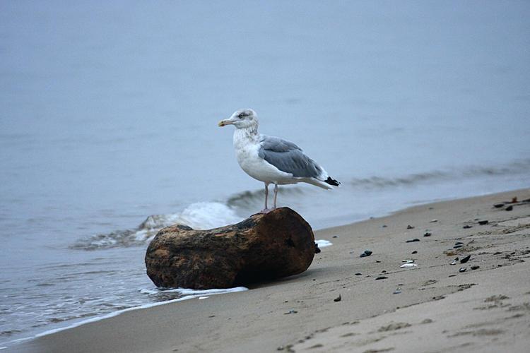 Herring Gull on a log