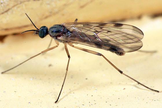 Sylvicola sp. (subgenus Anisopus)