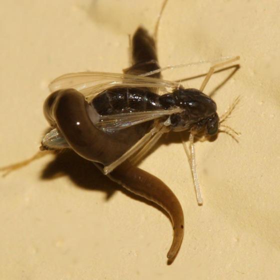 Turbellaria - Rhynchodemidae (Flatworm)