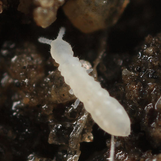 Onychiuridae (Protaphorura or Onychiurus)