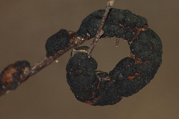 Apiosporina morbosa  (Black Knot of Cherry)