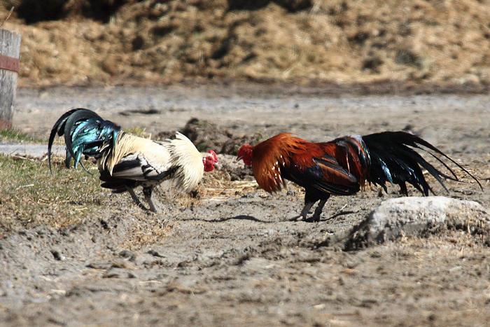 Silver Duckwing & Blue Wheaten Cubalaya Roosters in a Barnyard cock fight
