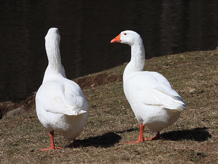 Domestic White Geese - Anser anser domesticus