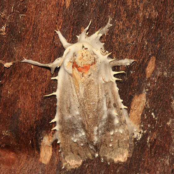 moth parasitized by (probably) a Beauveria fungus