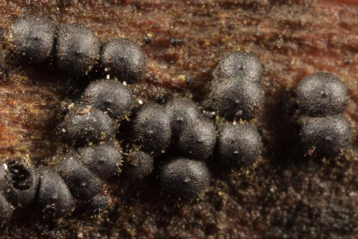 Rosellinia sp.