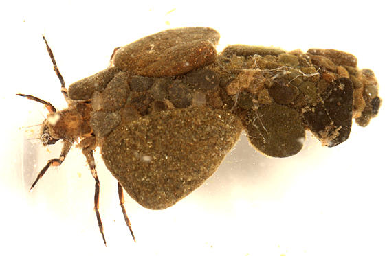 Neophylax concinnus