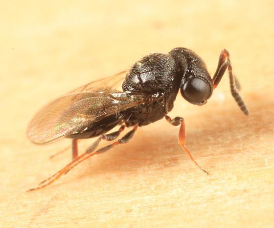 Trissolcus euschisti