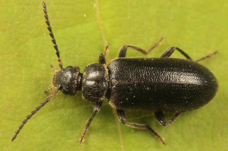 Pedilus canaliculatus (female)