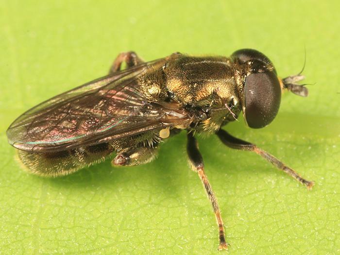 Eumerus sp.
