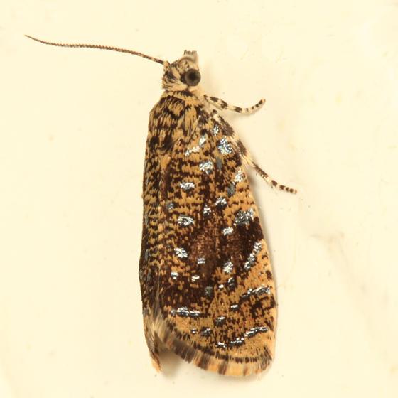 2837 - The Astronomer Moth - Olethreutes astrologana
