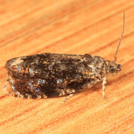 2832 - Olethreutes albiciliana